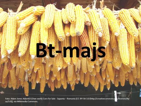 Bt-majs Foto: Adam Jones Adam63 (Own work) Corn for Sale - Sapanta – Romania [CC-BY-SA-3.0 (http://creativecommons.org/licenses/by- sa/3.0)], via Wikimedia.