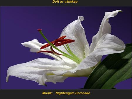 Musik: Nightengale Serenade