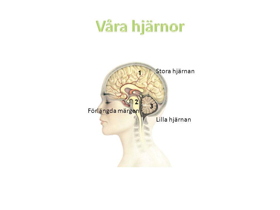 Våra hjärnor Stora hjärnan Förlängda märgen Lilla hjärnan