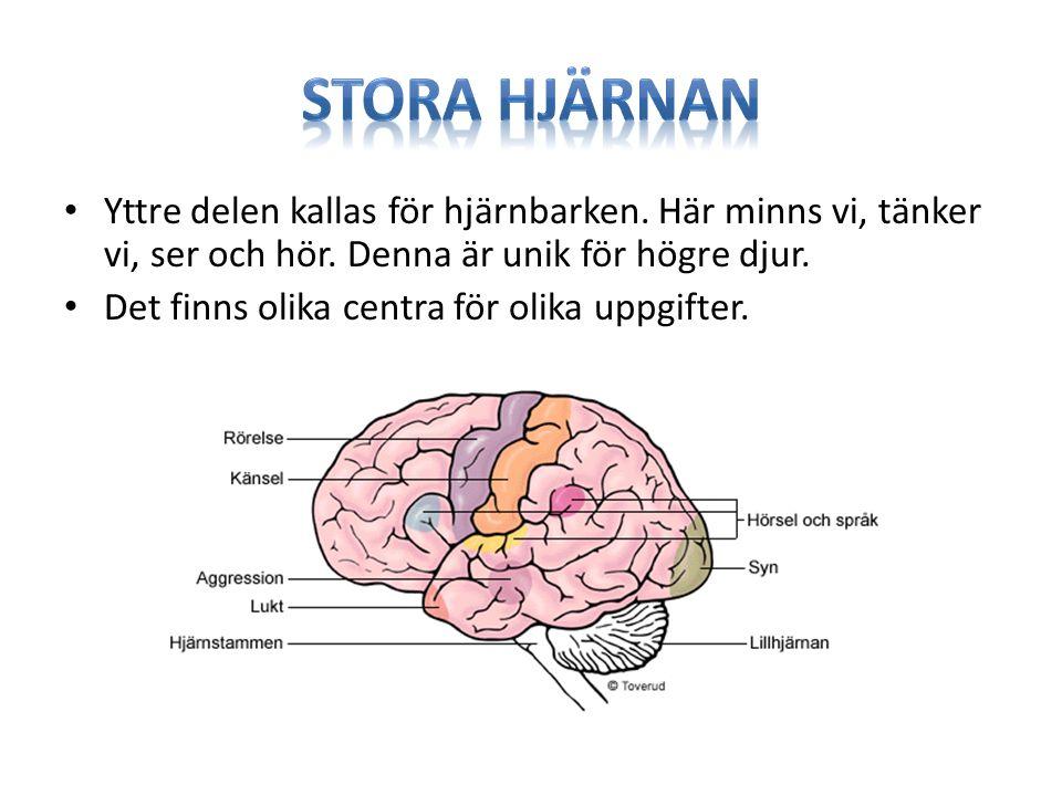 Stora hjärnan Yttre delen kallas för hjärnbarken. Här minns vi, tänker vi, ser och hör. Denna är unik för högre djur.