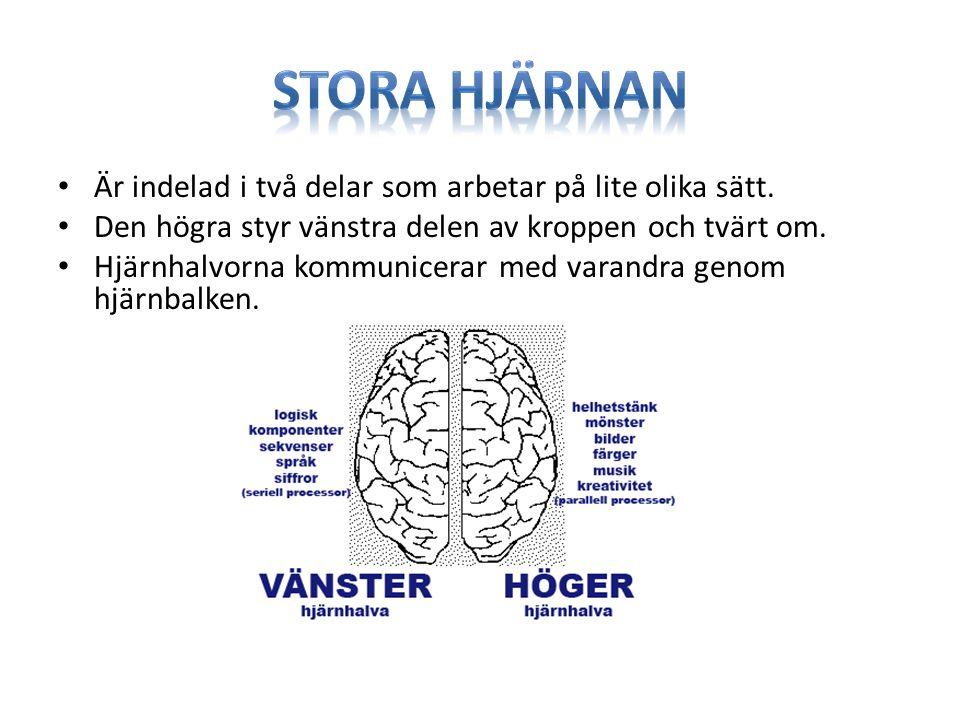 Stora hjärnan Är indelad i två delar som arbetar på lite olika sätt.