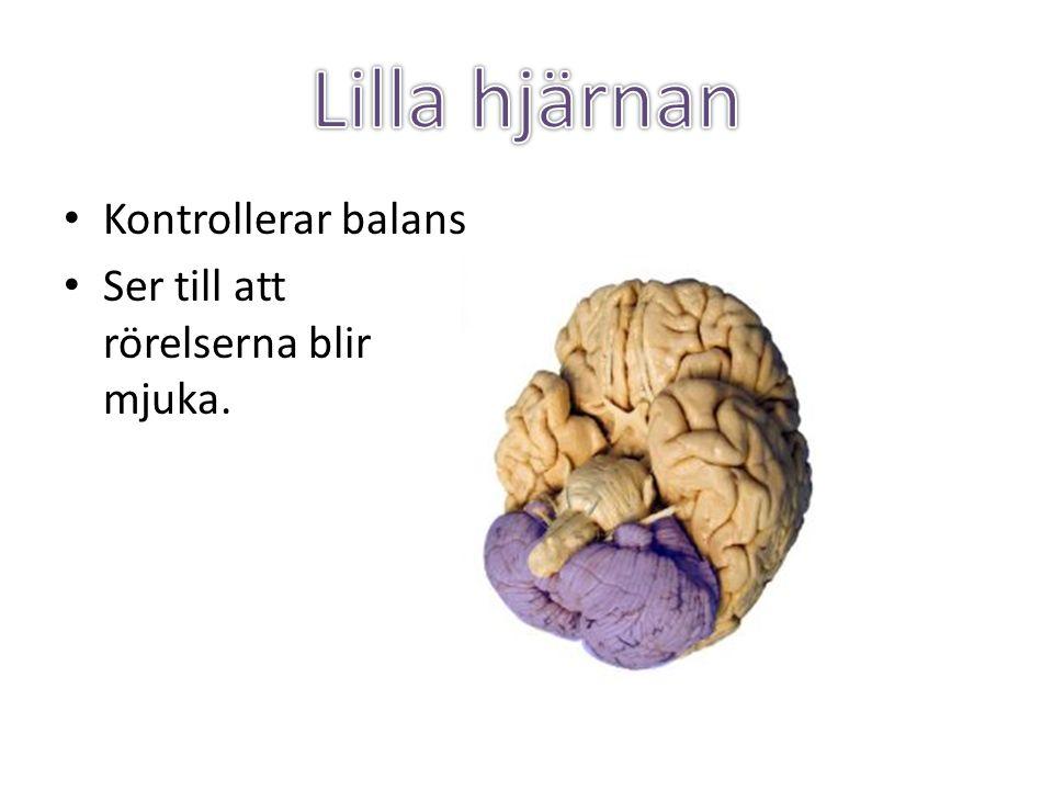 Lilla hjärnan Kontrollerar balans Ser till att rörelserna blir mjuka.