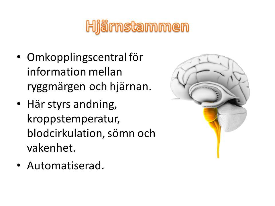 Hjärnstammen Omkopplingscentral för information mellan ryggmärgen och hjärnan.