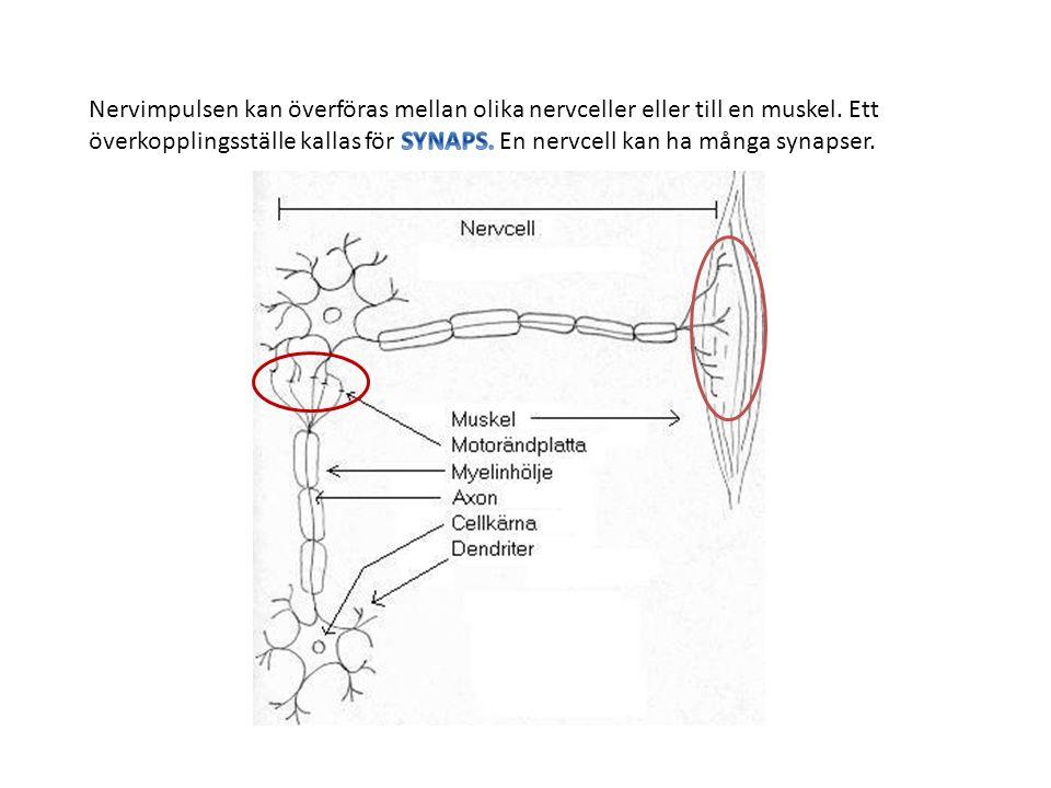 Nervimpulsen kan överföras mellan olika nervceller eller till en muskel.