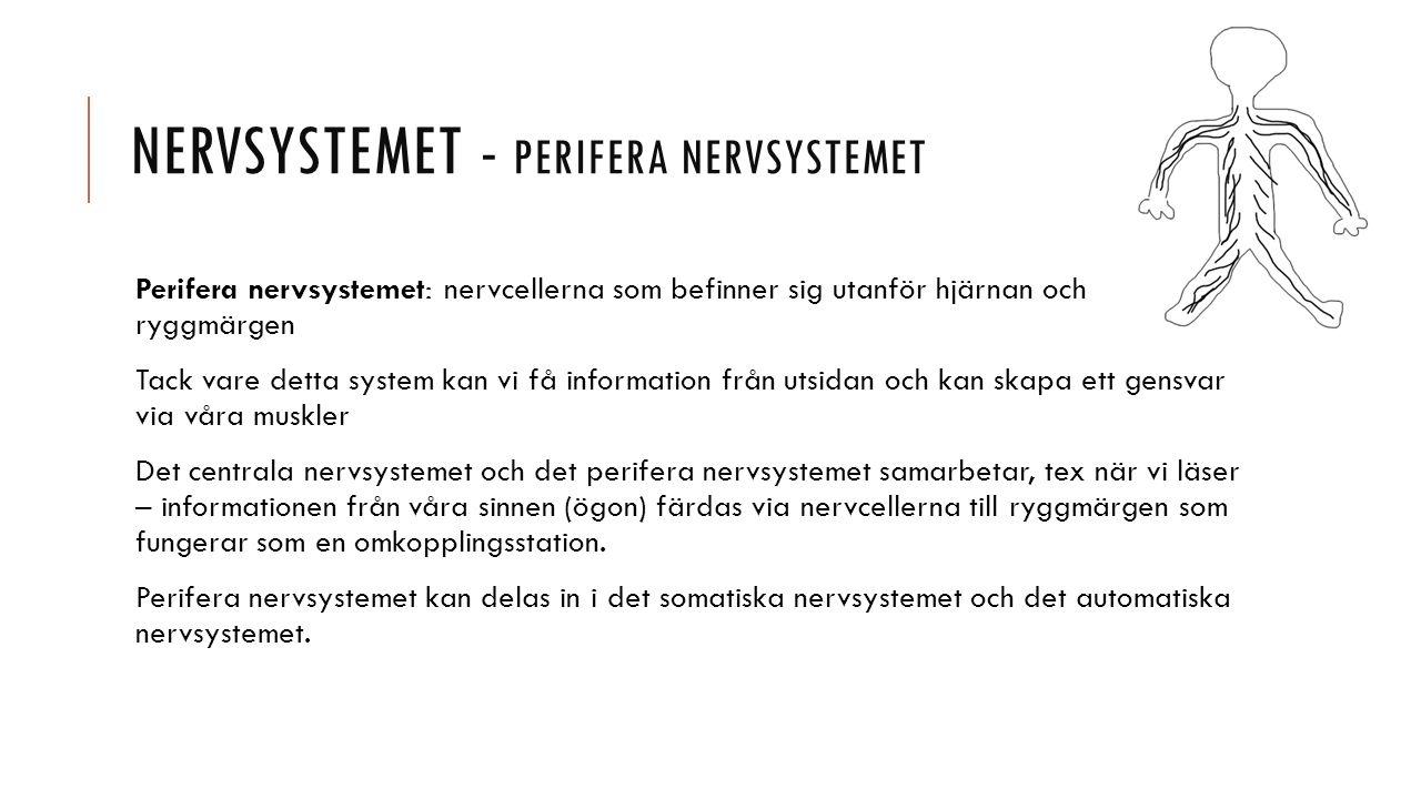 Nervsystemet - Perifera nervsystemet