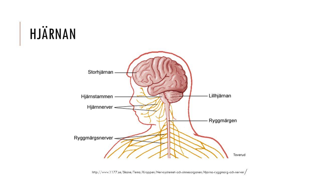Hjärnan http://www.1177.se/Skane/Tema/Kroppen/Nervsystemet-och-sinnesorganen/Hjarna-ryggmarg-och-nerver/