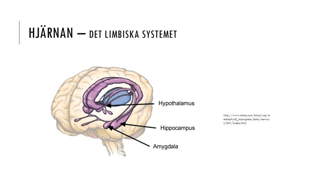 Hjärnan – det limbiska systemet