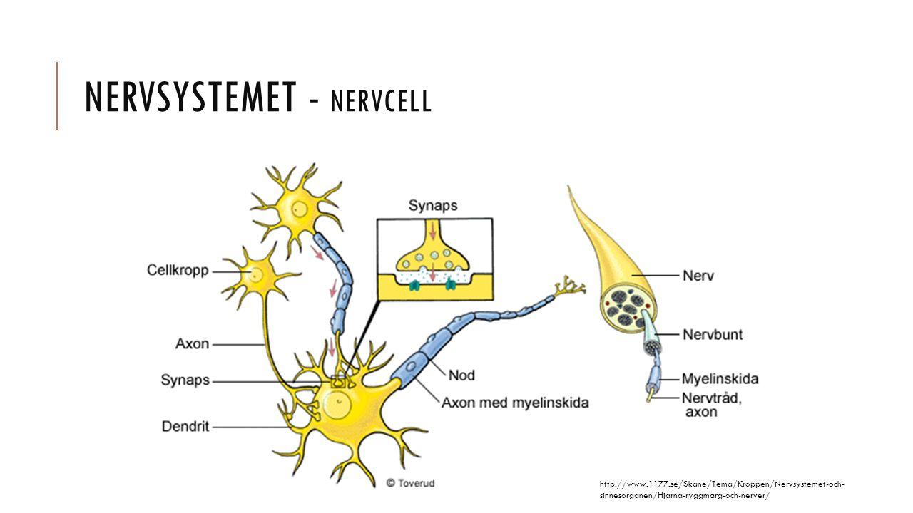 Nervsystemet - nervcell