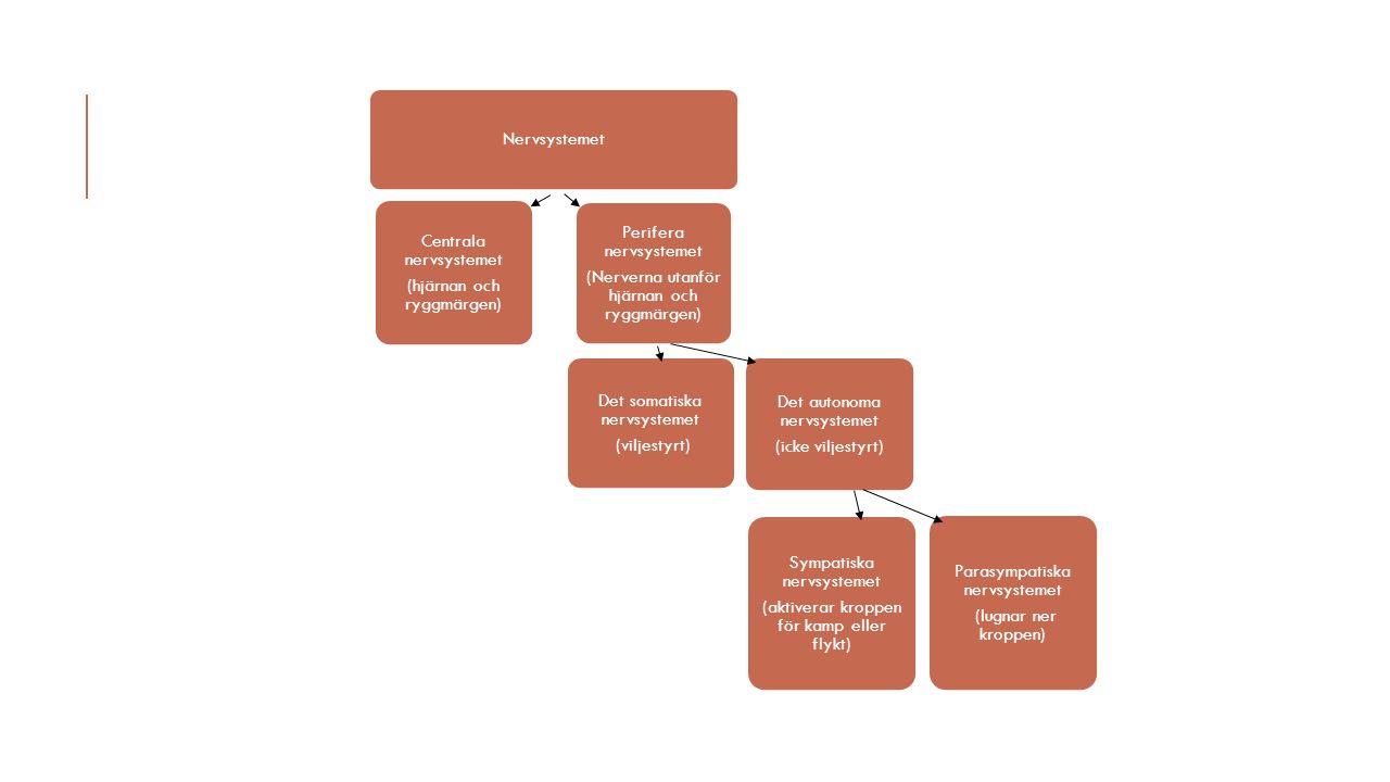 Det somatiska nervsystemet (viljestyrt) Det autonoma nervsystemet