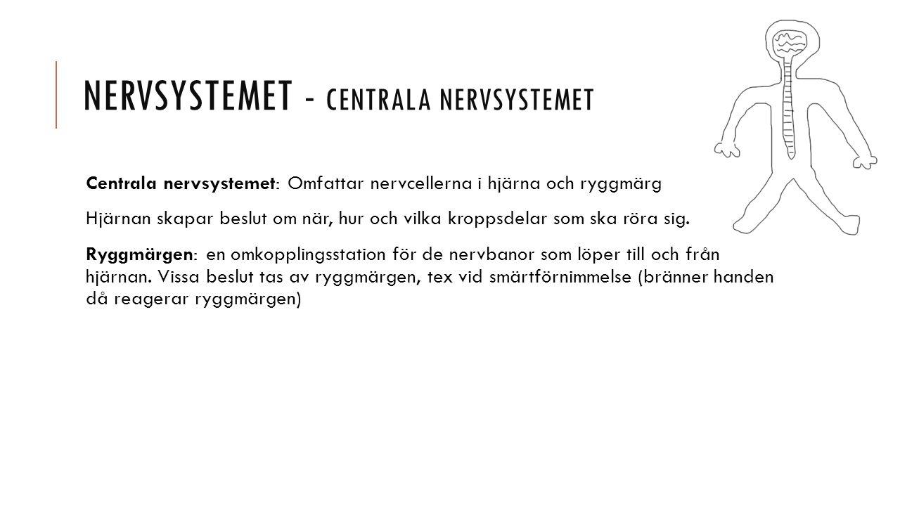 Nervsystemet - Centrala nervsystemet