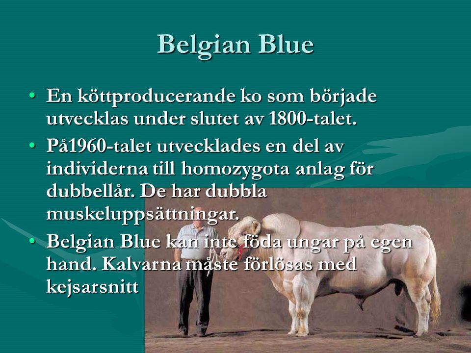 Belgian Blue En köttproducerande ko som började utvecklas under slutet av 1800-talet.