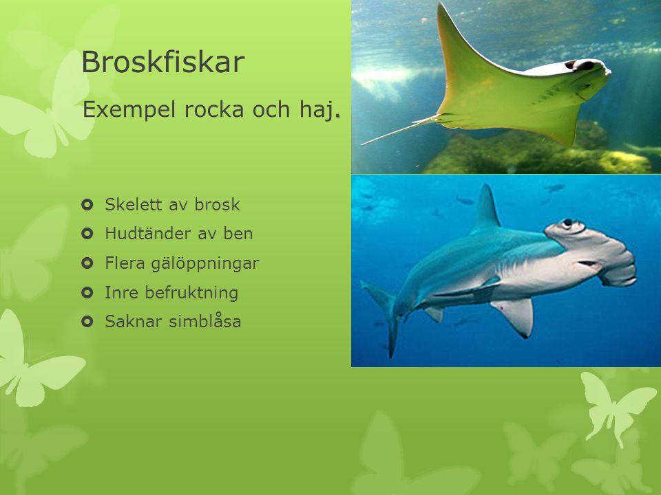 Broskfiskar Exempel rocka och haj. Skelett av brosk Hudtänder av ben