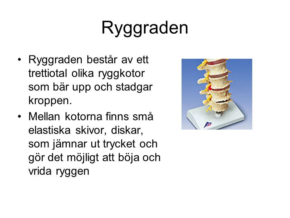 Ryggraden Ryggraden består av ett trettiotal olika ryggkotor som bär upp och stadgar kroppen.