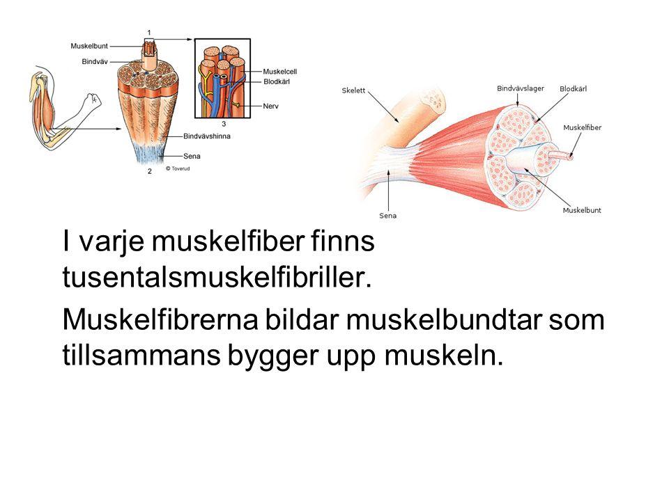 I varje muskelfiber finns tusentalsmuskelfibriller.