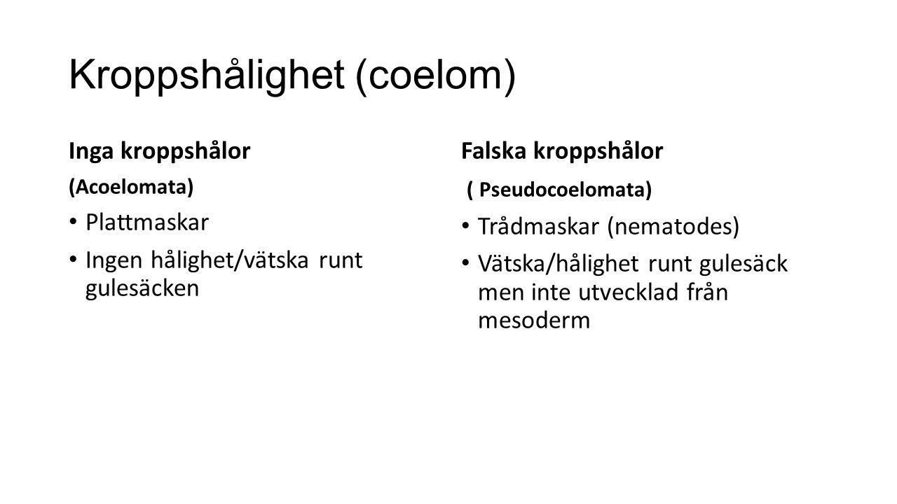 Kroppshålighet (coelom)