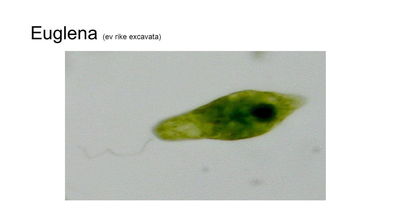 Euglena (ev rike excavata)