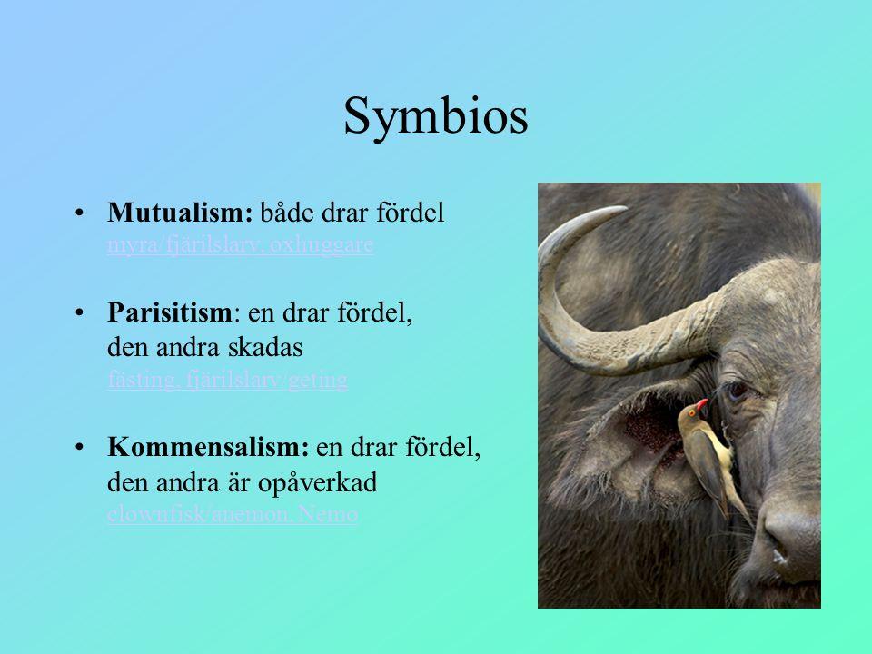 Symbios Mutualism: både drar fördel myra/fjärilslarv, oxhuggare