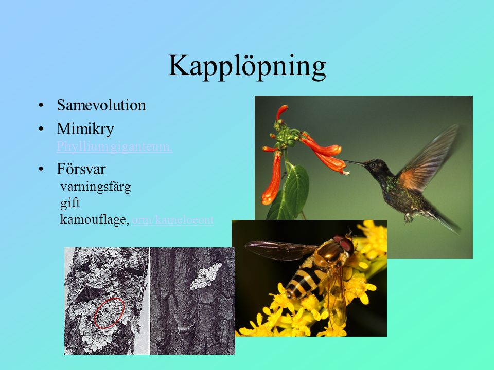 Kapplöpning Samevolution Mimikry Phyllium giganteum,