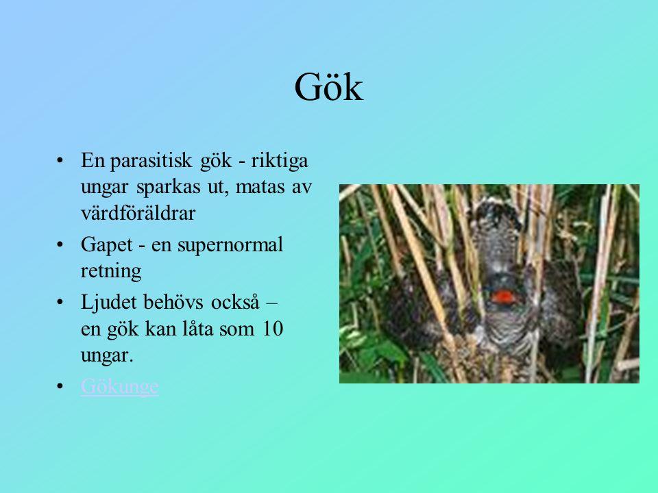 Gök En parasitisk gök - riktiga ungar sparkas ut, matas av värdföräldrar. Gapet - en supernormal retning.