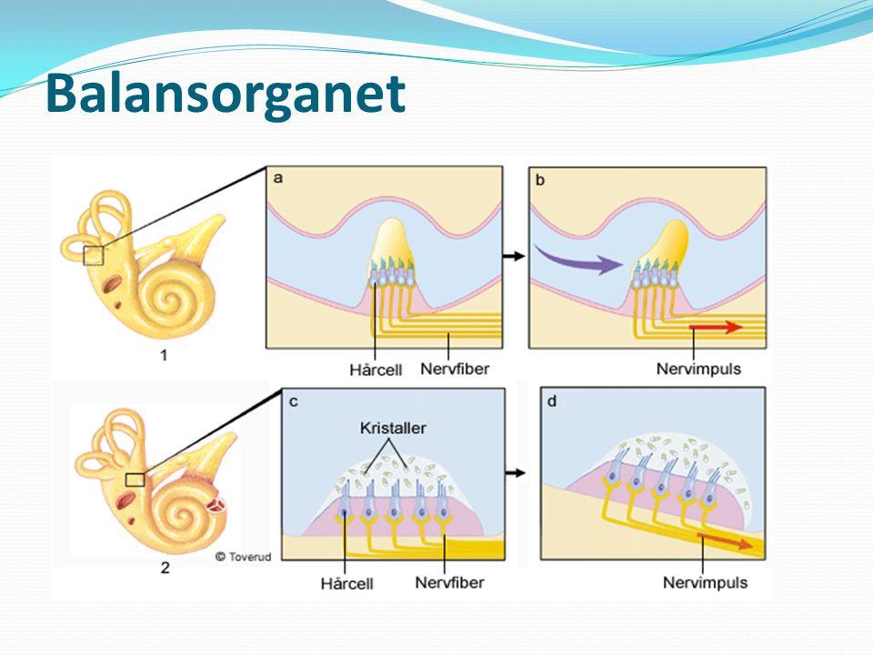Balansorganet