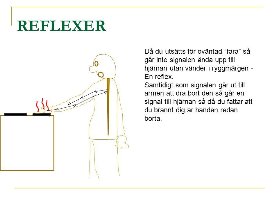 REFLEXER Då du utsätts för oväntad fara så går inte signalen ända upp till hjärnan utan vänder i ryggmärgen -