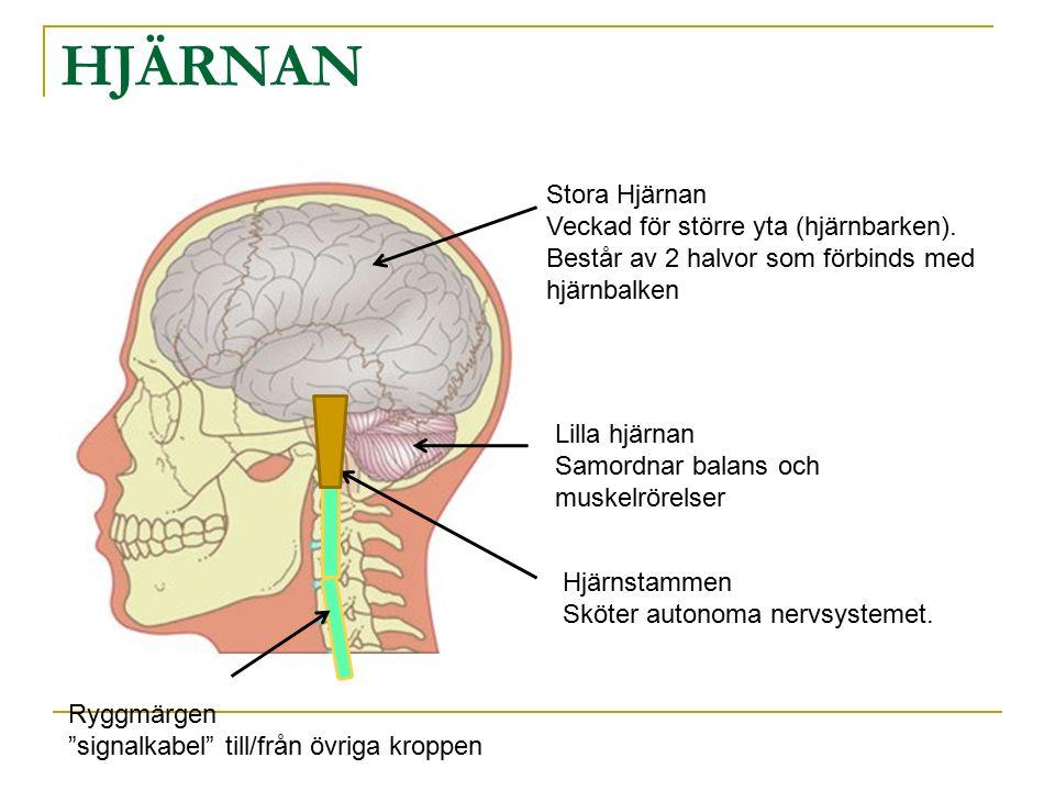 HJÄRNAN Stora Hjärnan. Veckad för större yta (hjärnbarken). Består av 2 halvor som förbinds med hjärnbalken.