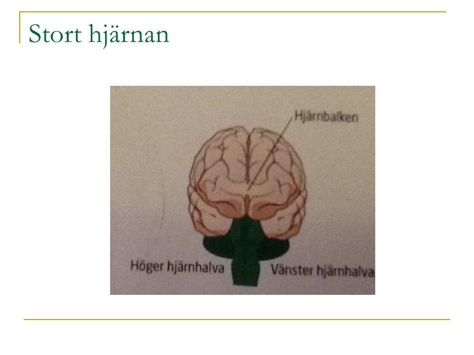 Stort hjärnan