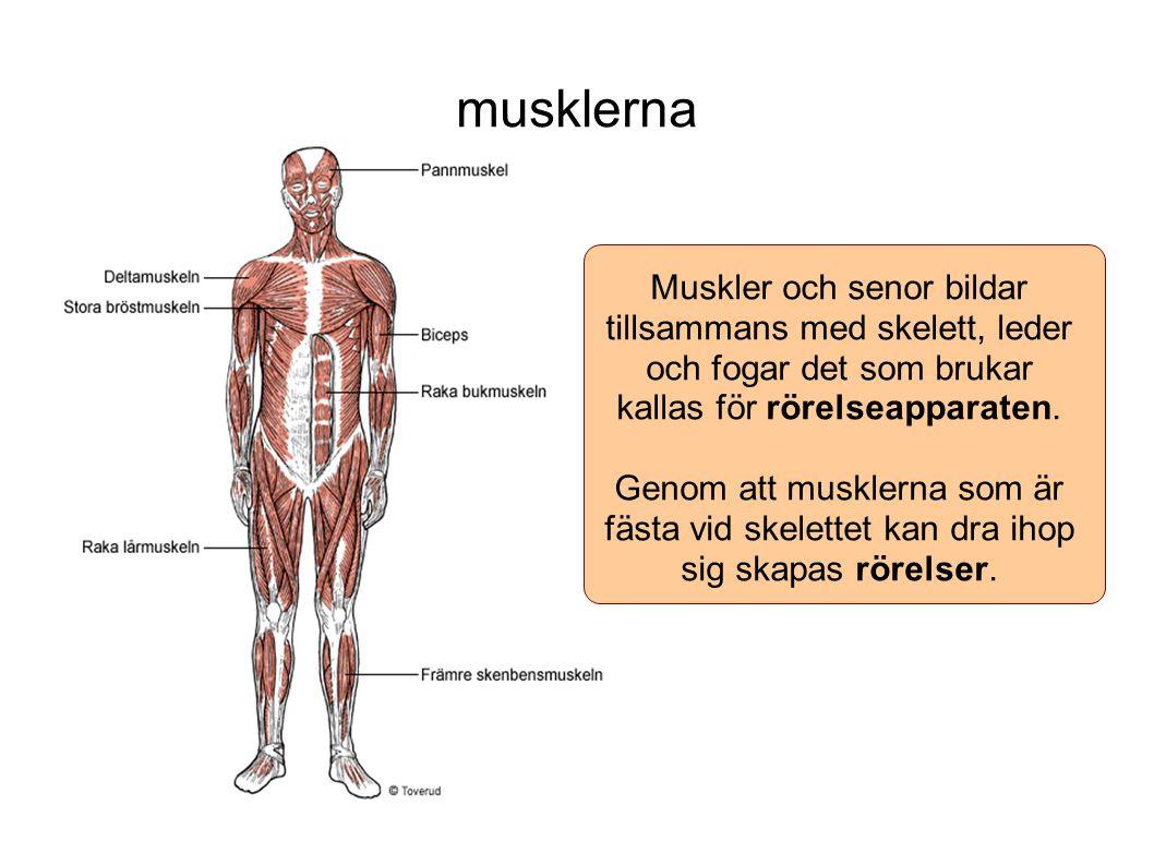 musklerna Muskler och senor bildar tillsammans med skelett, leder och fogar det som brukar kallas för rörelseapparaten.