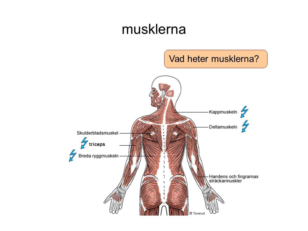 musklerna Vad heter musklerna triceps