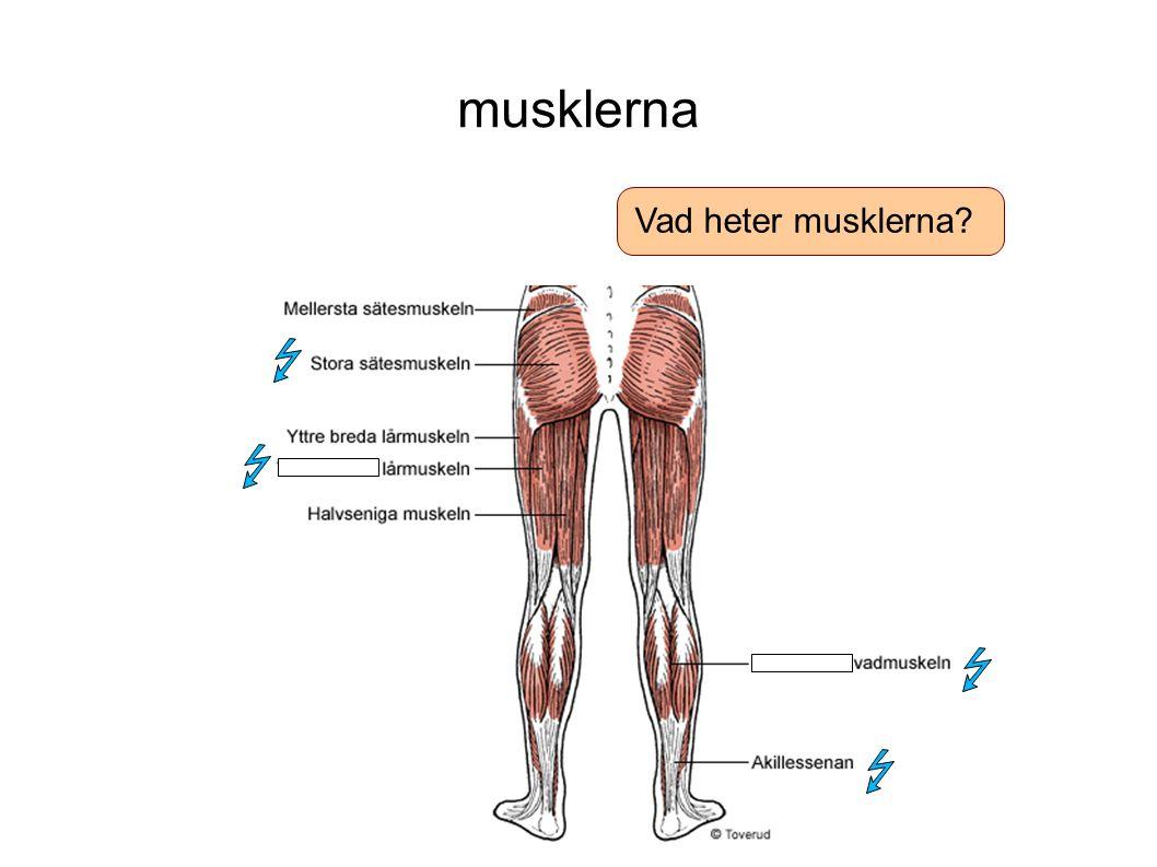 musklerna Vad heter musklerna