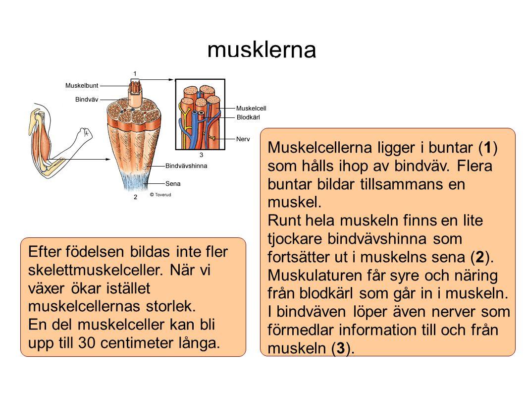 musklerna Muskelcellerna ligger i buntar (1) som hålls ihop av bindväv. Flera buntar bildar tillsammans en muskel.