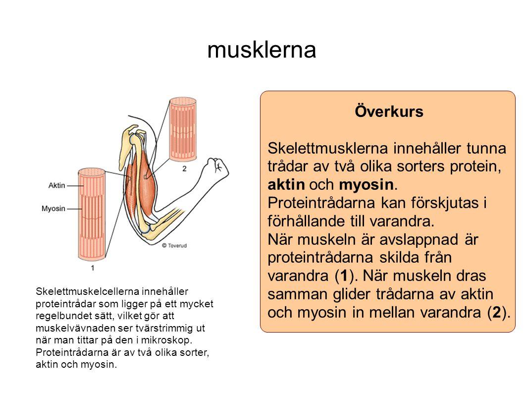musklerna Överkurs. Skelettmusklerna innehåller tunna trådar av två olika sorters protein, aktin och myosin.
