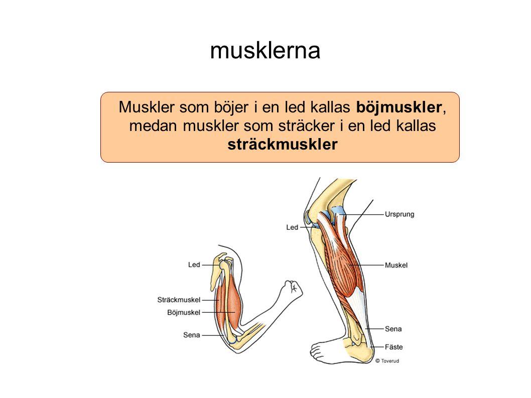 musklerna Muskler som böjer i en led kallas böjmuskler, medan muskler som sträcker i en led kallas sträckmuskler.
