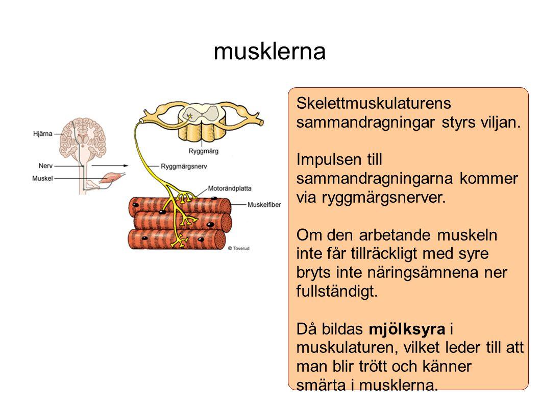musklerna Skelettmuskulaturens sammandragningar styrs viljan.