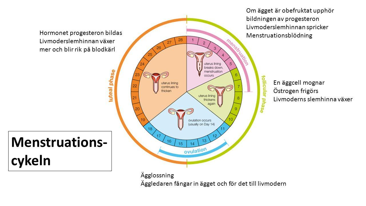 Menstruations- cykeln