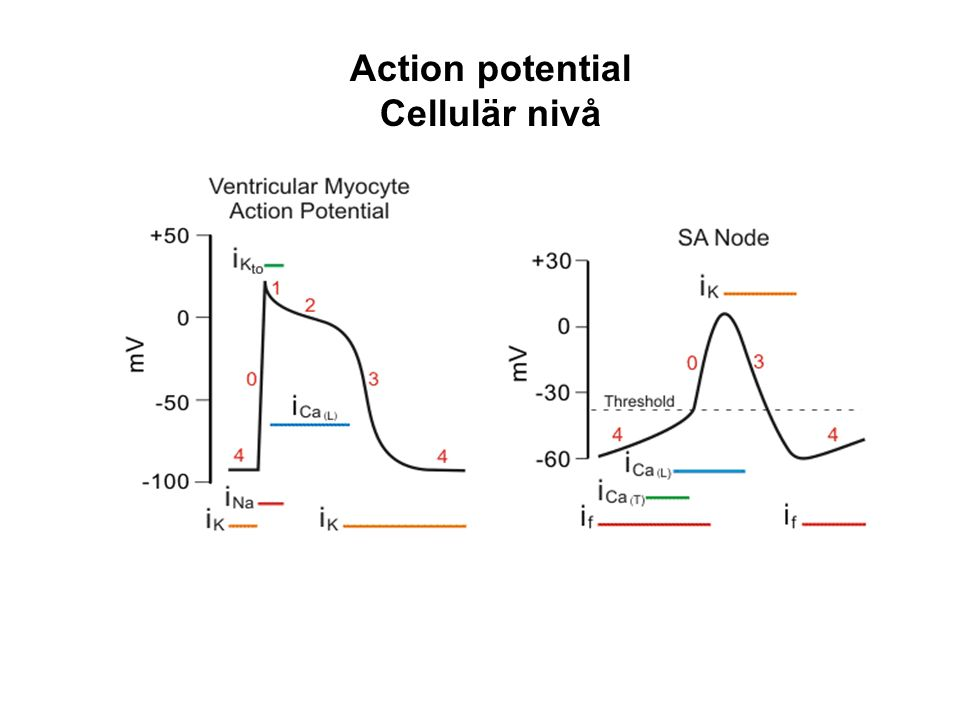 Action potential Cellulär nivå