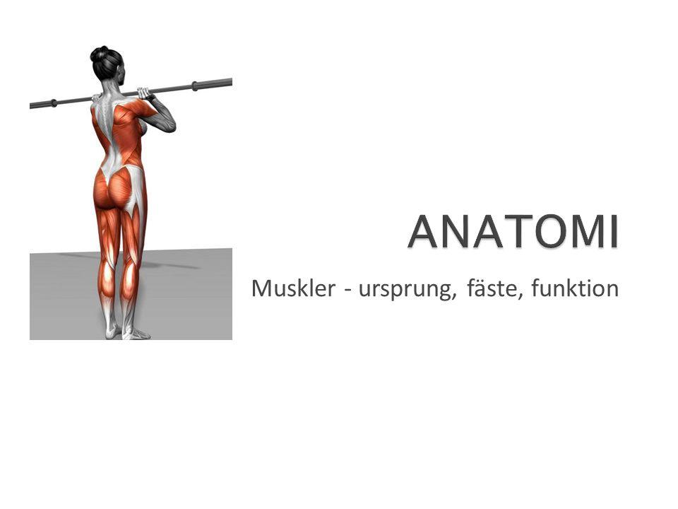 Muskler - ursprung, fäste, funktion