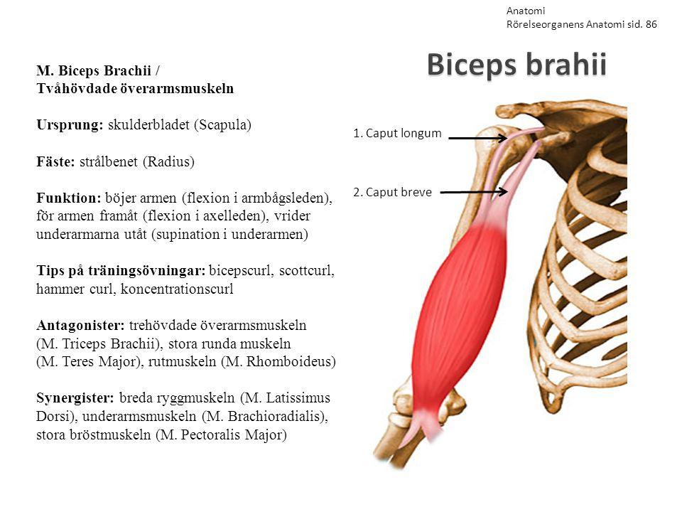 Biceps brahii M. Biceps Brachii / Tvåhövdade överarmsmuskeln