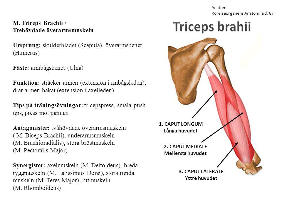 Triceps brahii M. Triceps Brachii / Trehövdade överarmsmuskeln