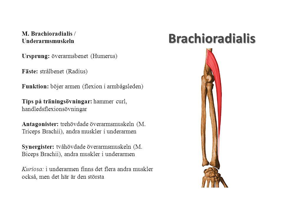 Brachioradialis M. Brachioradialis / Underarmsmuskeln