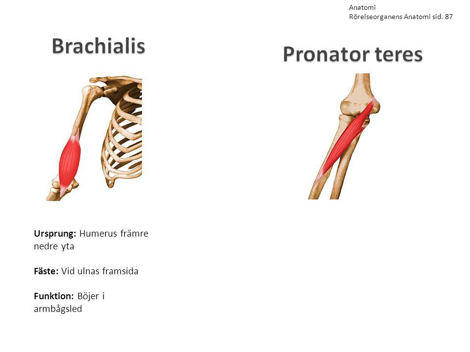 Brachialis Pronator teres Ursprung: Humerus främre nedre yta