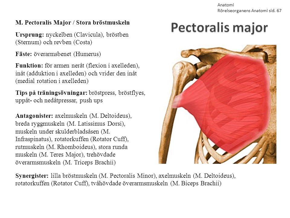 Pectoralis major M. Pectoralis Major / Stora bröstmuskeln