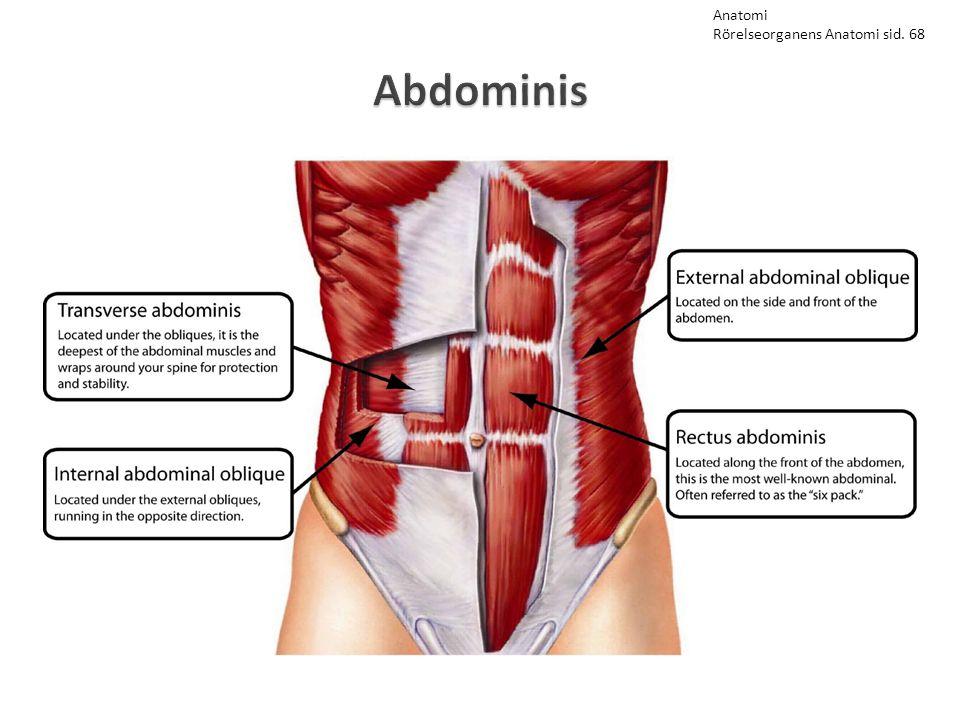 Anatomi Rörelseorganens Anatomi sid. 68 Abdominis