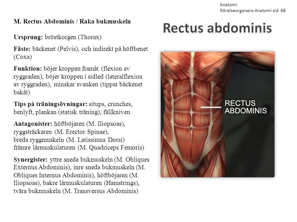 Rectus abdominis M. Rectus Abdominis / Raka bukmuskeln