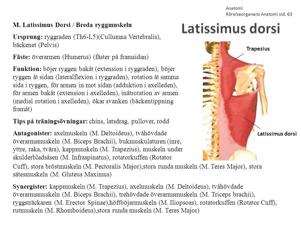 Latissimus dorsi M. Latissimus Dorsi / Breda ryggmuskeln