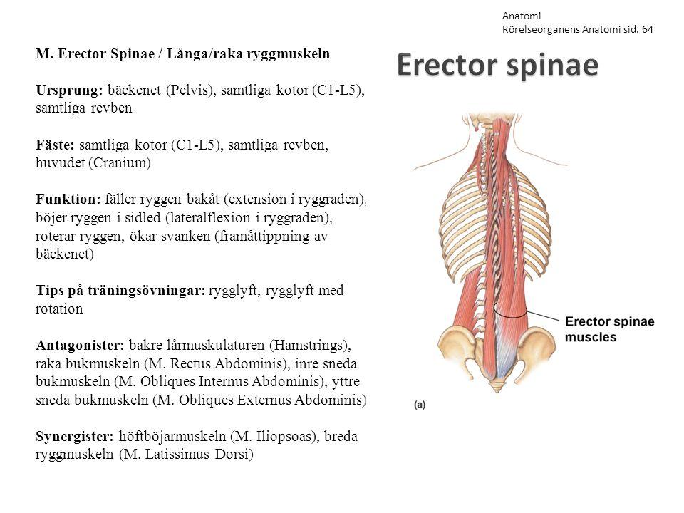 Erector spinae M. Erector Spinae / Långa/raka ryggmuskeln