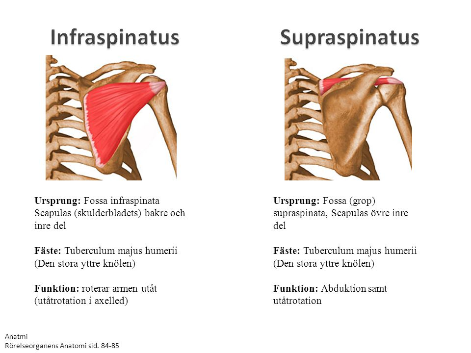 Infraspinatus Supraspinatus Ursprung: Fossa infraspinata