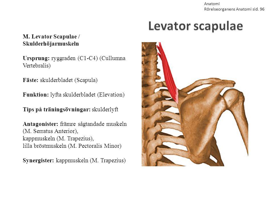 Levator scapulae M. Levator Scapulae / Skulderhöjarmuskeln