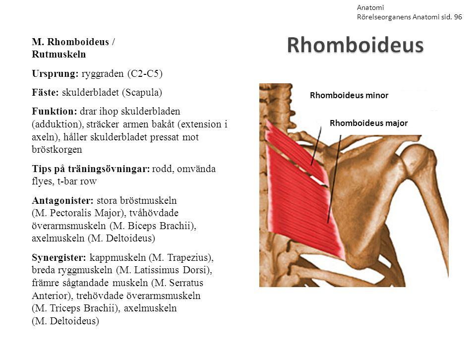 Rhomboideus M. Rhomboideus / Rutmuskeln