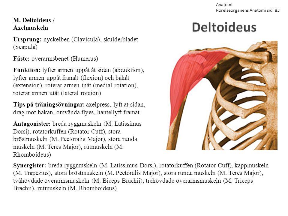 Deltoideus M. Deltoideus / Axelmuskeln